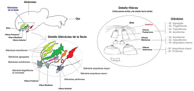 Figura 1: Anatomía de los órganos involucrados en la producción de seda de araña. Tomada de  Wikipedia.org