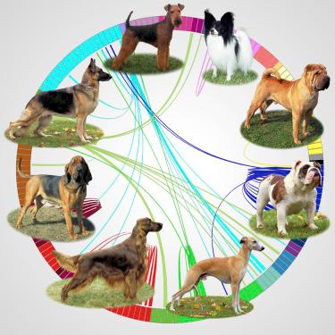 Figura 1. Imagen reproducida de Parker et al., 2017. En esta gráfica cada color representa un clado, y cada sección del círculo representa una raza. El grosor de los listones que conectan distintas razas representan la similitud genética entre ellas.