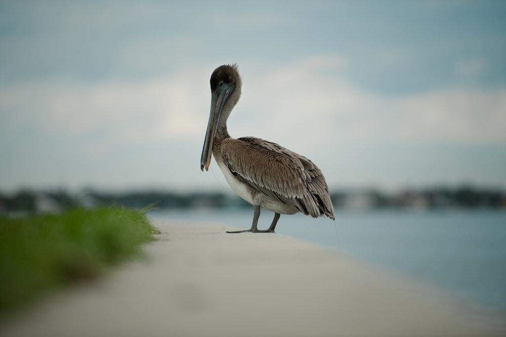 Tyler Harney Photography-St.-Petersburg-Pelican.jpg
