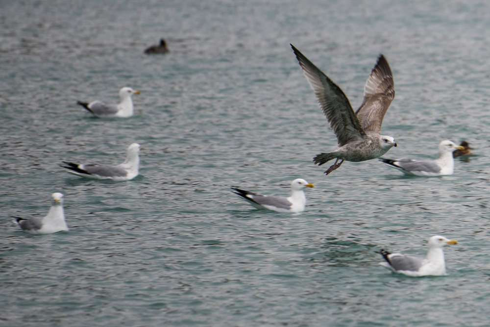 Tyler Harney Photography Seagull Birds Flying Over Water