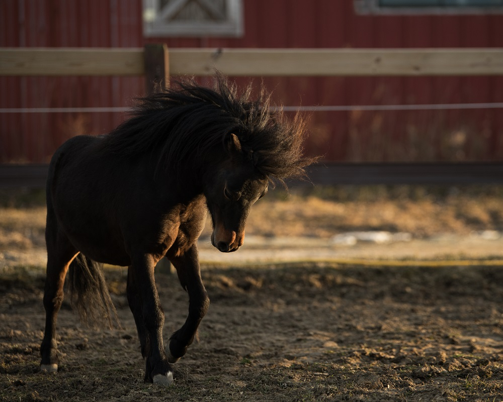 Tyler Harney Photography Mini Horse Rockstar in Pasture Nikon 200mm