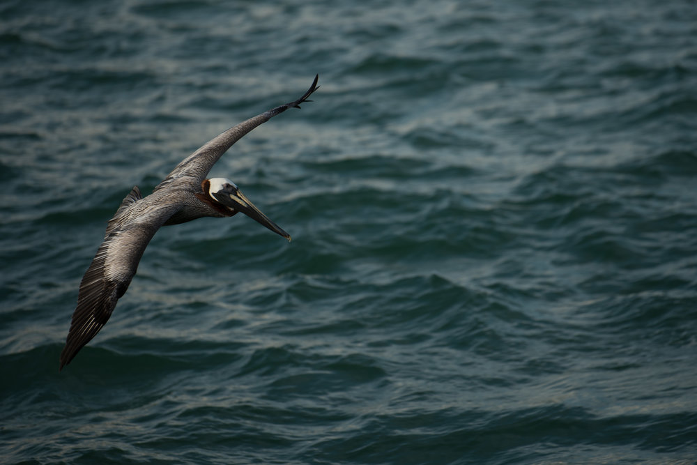 Pelican 12.jpg