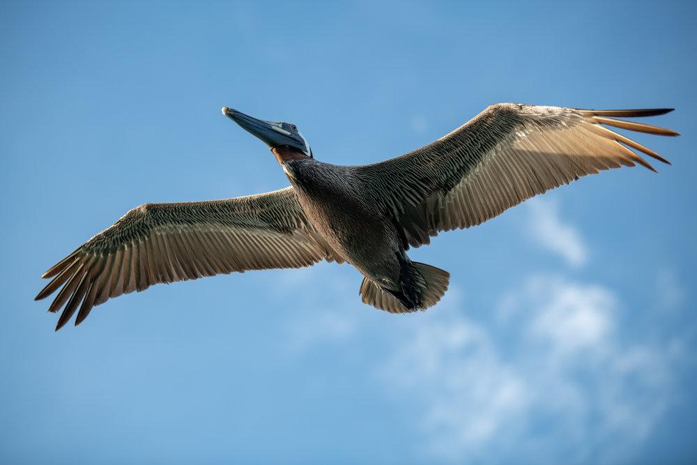 Pelican 11.jpg
