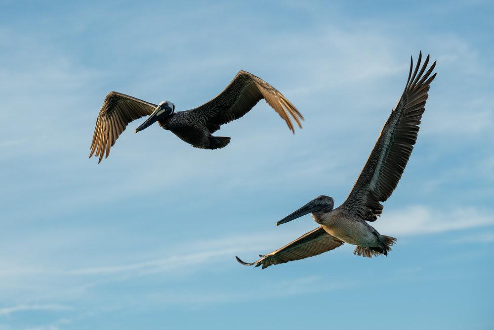 Pelican 10.jpg
