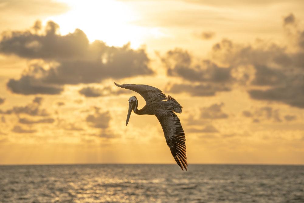 Pelican 24.jpg