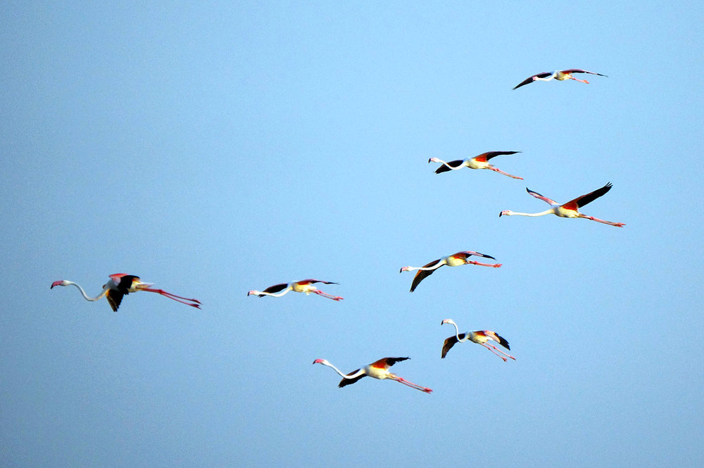 Greater Flamingos in Flight