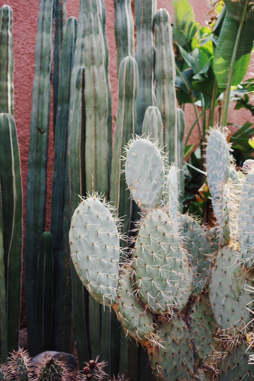 Cactus เป็นต้นไม้ที่เห็นได้ทั่วไปในmarrakesh เนื่องจากความแห้งของอากาศ