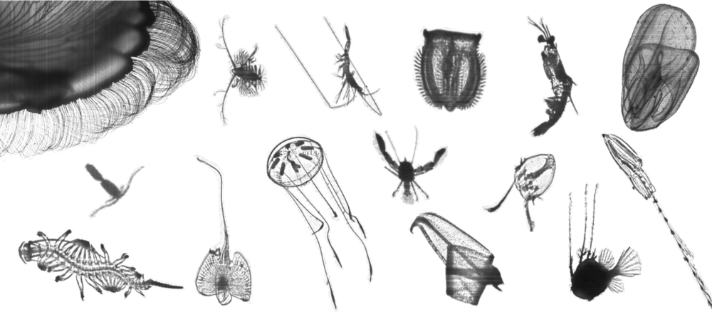 Zooplankton communities are composed of copepods, pteropods, shrimps, polychaete worms, chaetognaths, siphohophores, ctenophores, scyphomedusae, and the larval stages of a variety of fishes and invertebrates. Representatives from almost all of these groups can be seen in the collage above.