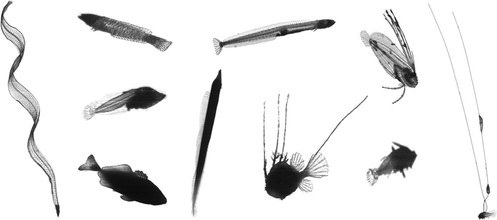 Larval fishes display an amazing diversity of morphologies.