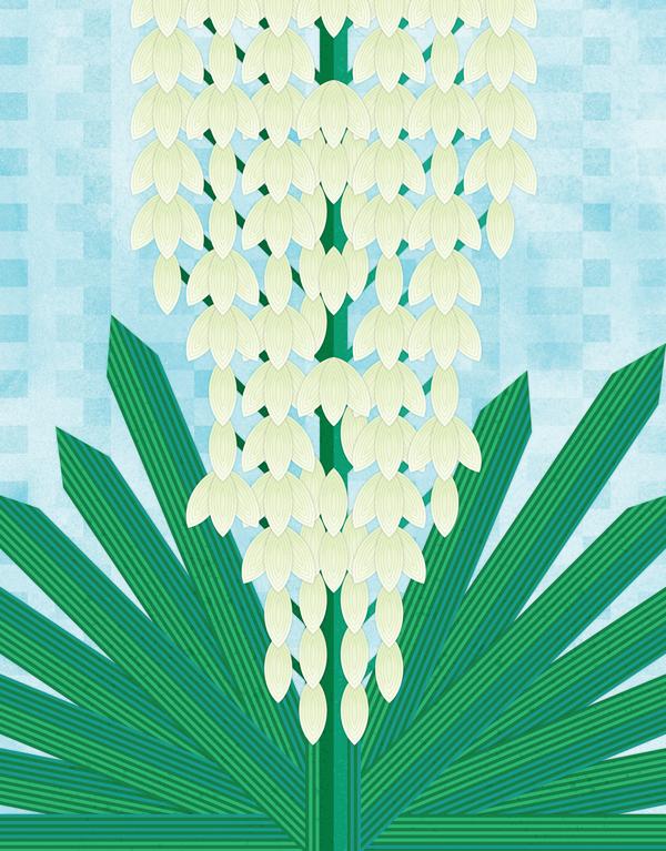 Yucca_illustration.png