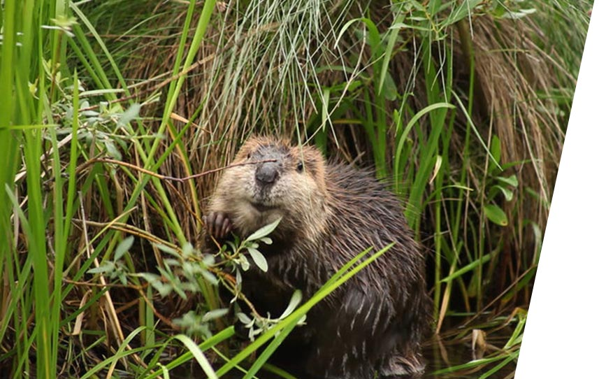 beaver-believers-web-thumbnail.jpg