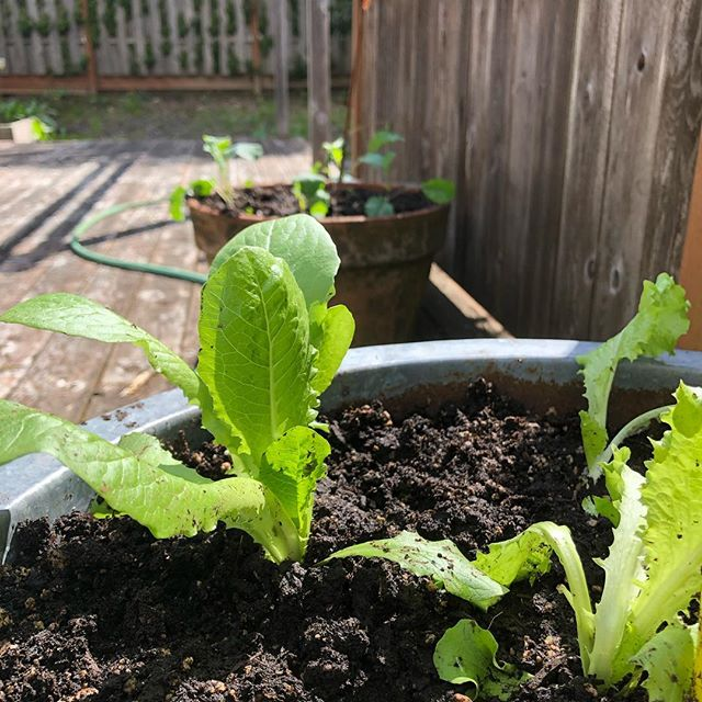 Spring is for vegetable starts in the garden 🌱 . Watching starts grow is one of my favorite things. Not too long from now, these little guys will be full plants with large, tender leaves. . I love growing lettuces and kale and using them in my salad every night. . . . #lettucestarts #veggiestarts #growinglettuce #lettuce #homegrown #inthegarden #gardengrown #vegetablegardening #backporchgarden #porchgarden #growyourownfood #lovegardening #getyourhandsdirty #digginginthedirt #organicgardening #favoritethings #happygardener #healthyhobbies #growwhatyoueat #saladfromthegarden #justplanted #planting #plantingveggies #healingfoods #cantgetmorelocalthanthis #homegrownveggies