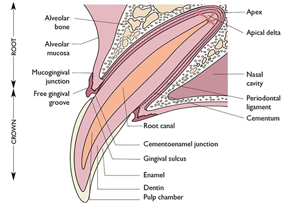 Cross section of a tooth