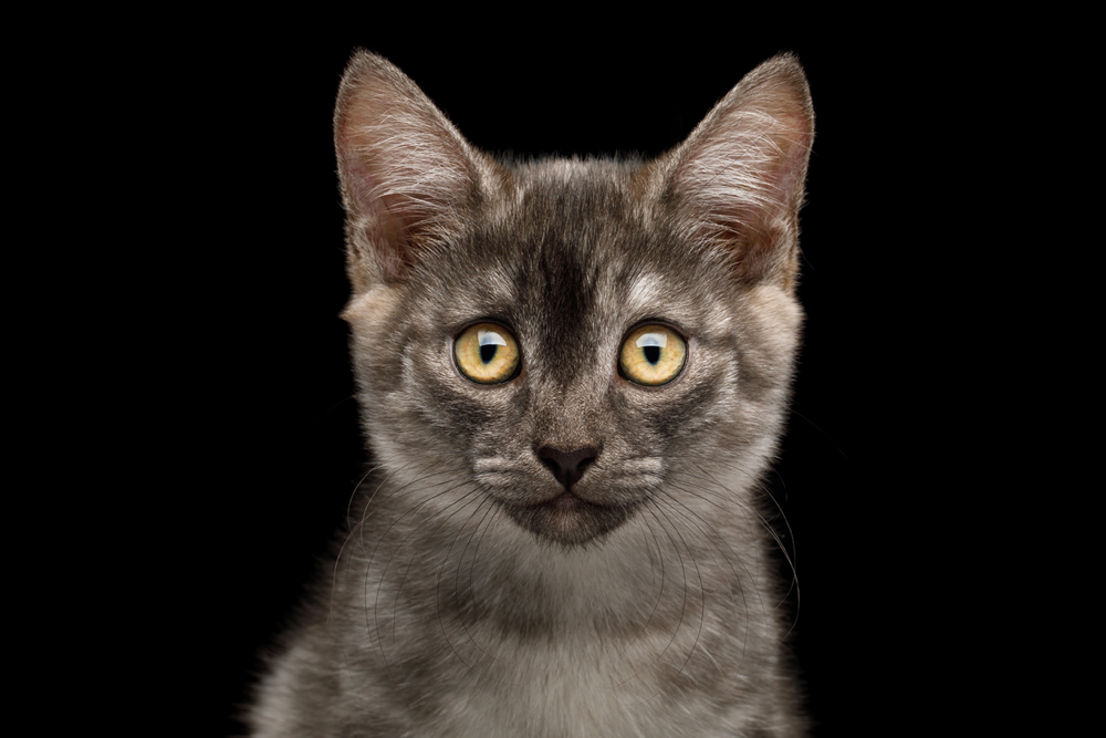 Grey tabby kitten.png