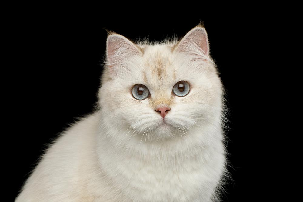 creamcat.png