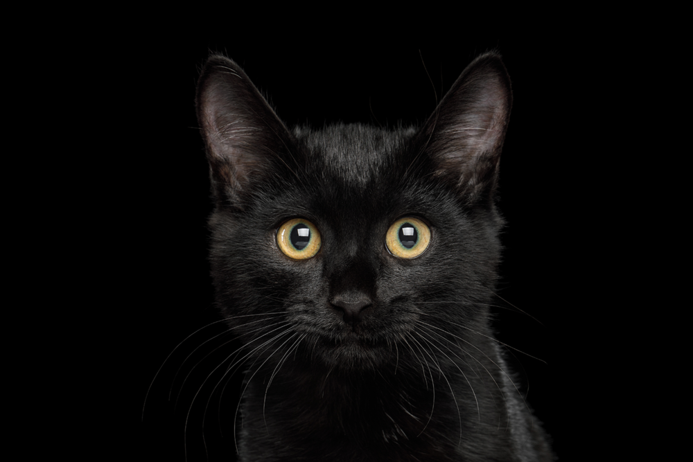 Black kitten.png