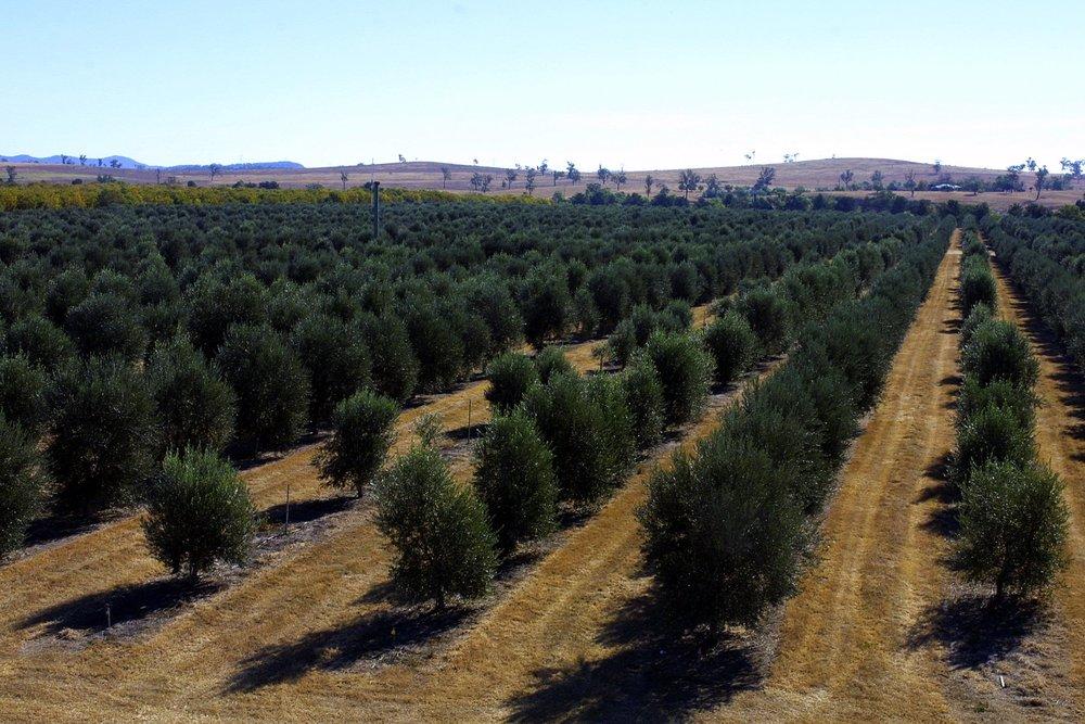 denman - olives.jpg