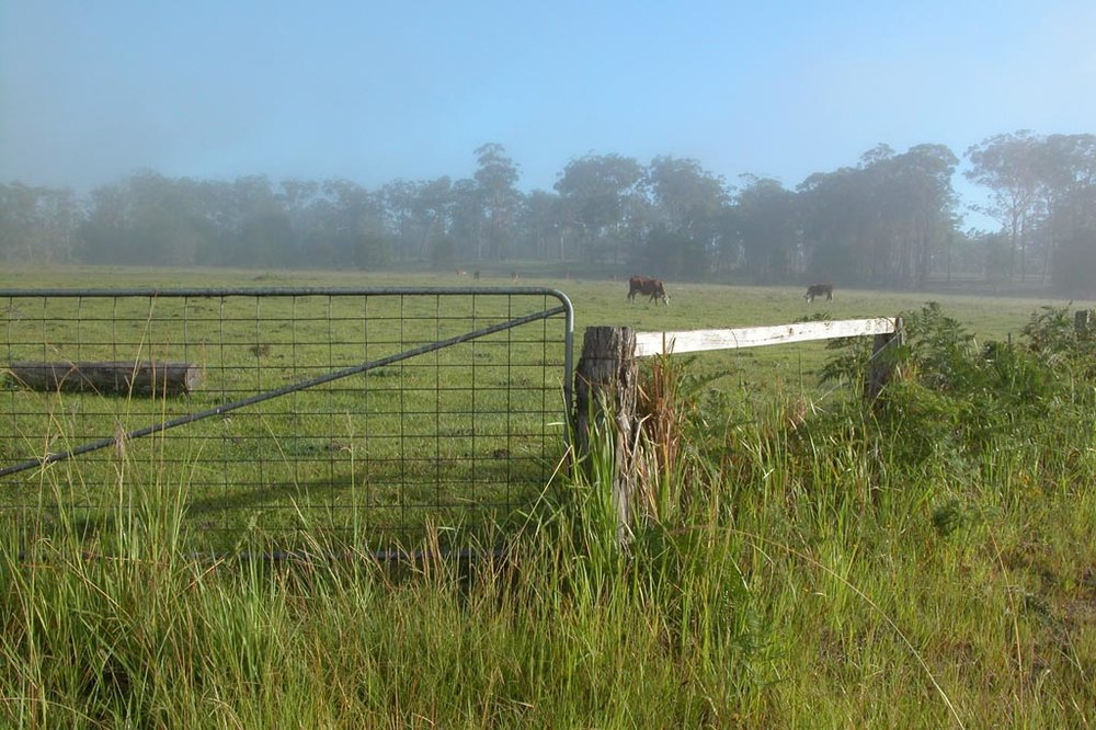 Cows Grazing Early Morning002.JPG
