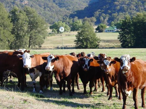 Cows, UHSC 14039.JPG