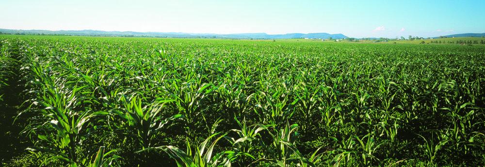 Corn Field, MCC 07011.jpg