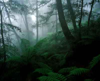 Antarctic Beech Trees.jpg