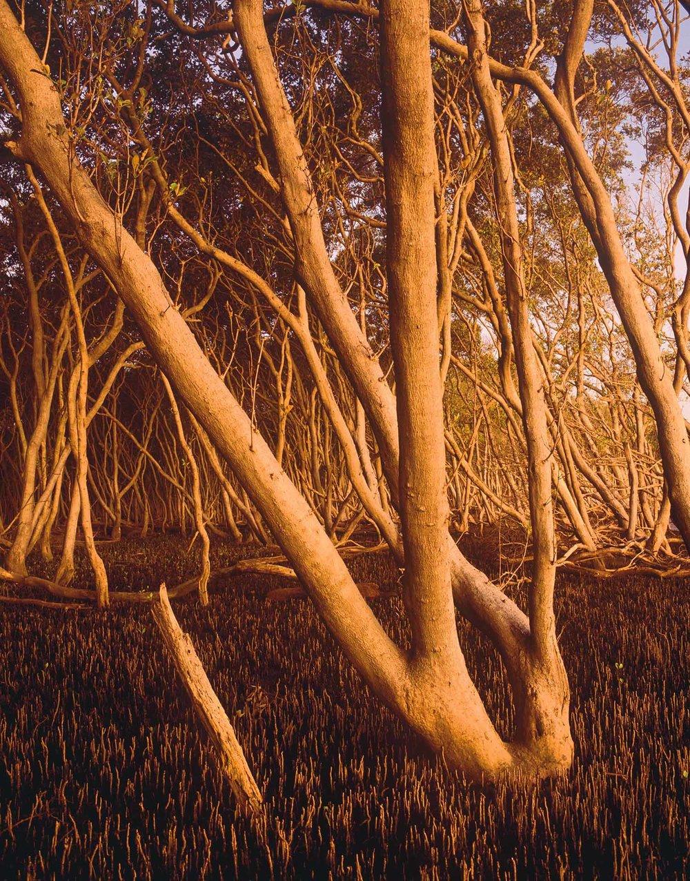 Mangroves,-NPWS-10041.jpg