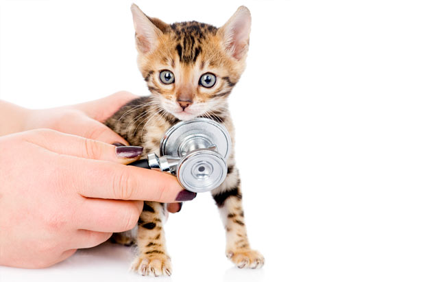 bengal-kitten-at-the-vet.jpg