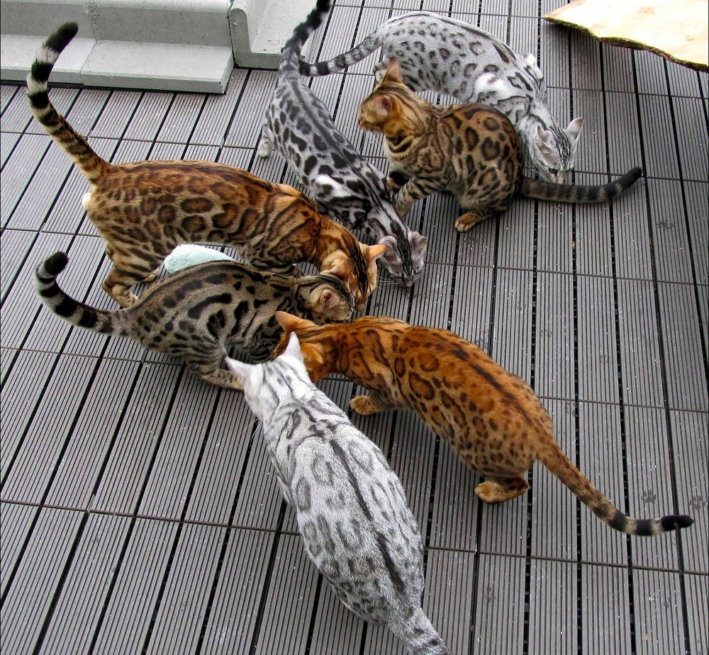 bengal-cats-different-colors.jpg