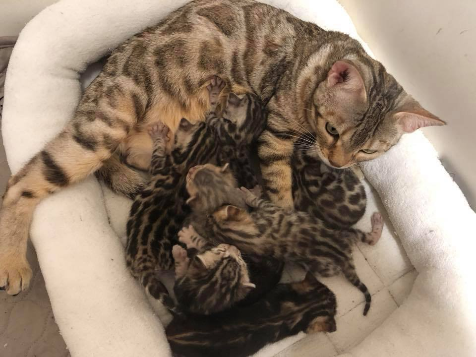 Mary Keehma Purrfect Dreams Bengals Joliet, Il bengals@purrfectdreamscattery.com