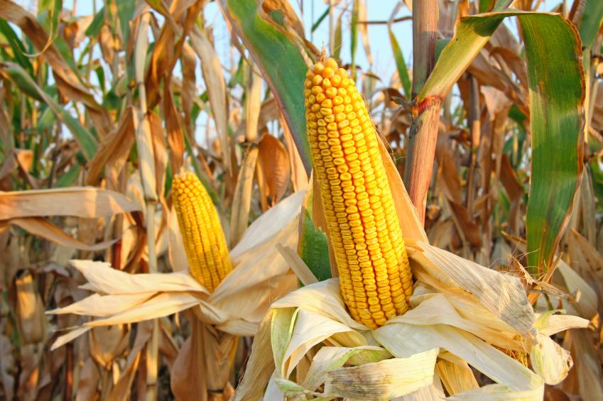 Mais-pflanzen.jpg