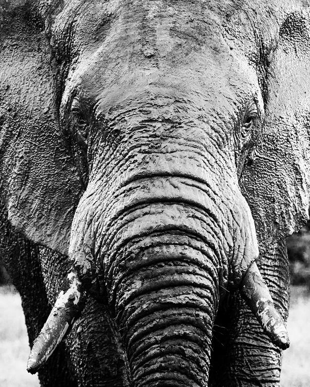 Elephant_Portrait-IMG_66091.jpg