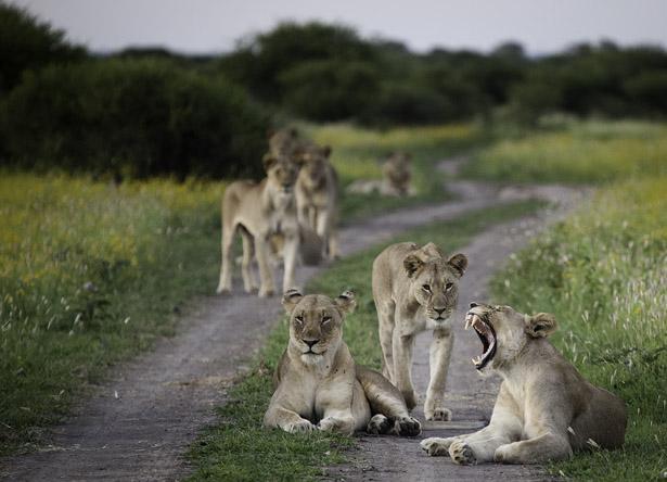 Lions_IMG_6106.jpg