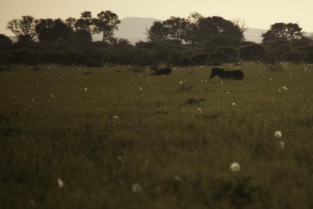 Zebra-Field_IMG_6210.jpg