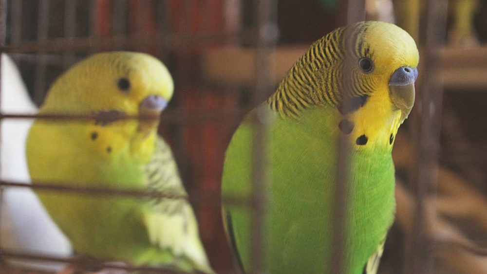 Daisy & Quasi Moto - (We love Adam Sandler movies. Have you seen Mr. Deeds? Quasi got his name from a funny line in that one. And Daisy... she's just a pretty, little flower budgie.)