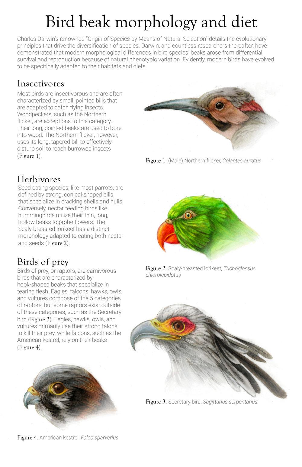 Beak morphology and diet