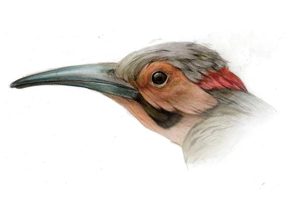 Northern flicker (Male)