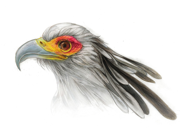 Secretory bird