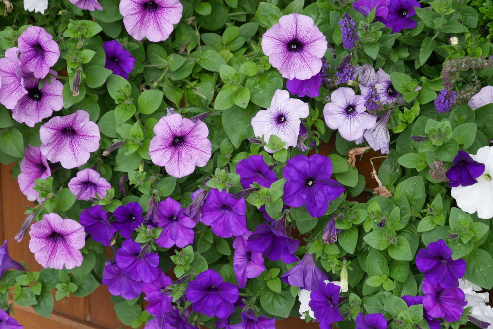 Purple-petunias-at-Wimbledon-2017.JPG