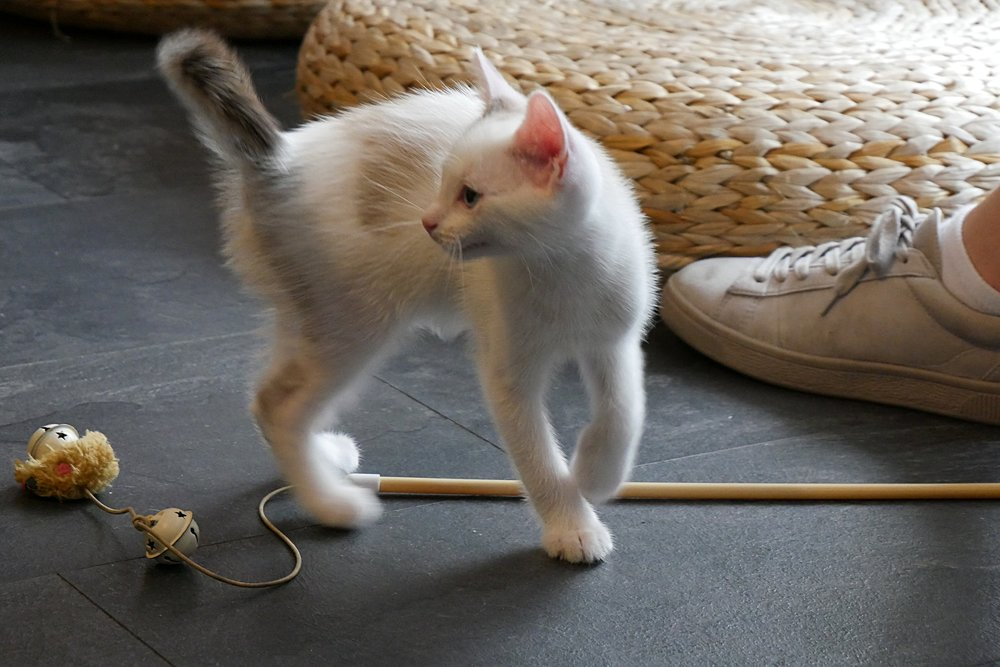 White-kitten-playing-Bristol.JPG