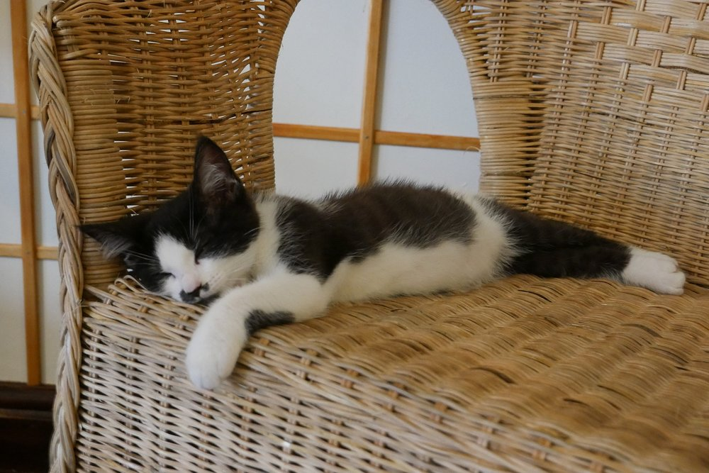 Sleeping-kitten-on-chair-Bristol.JPG