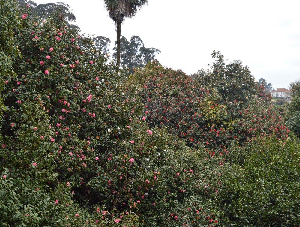 largest camellias.jpg