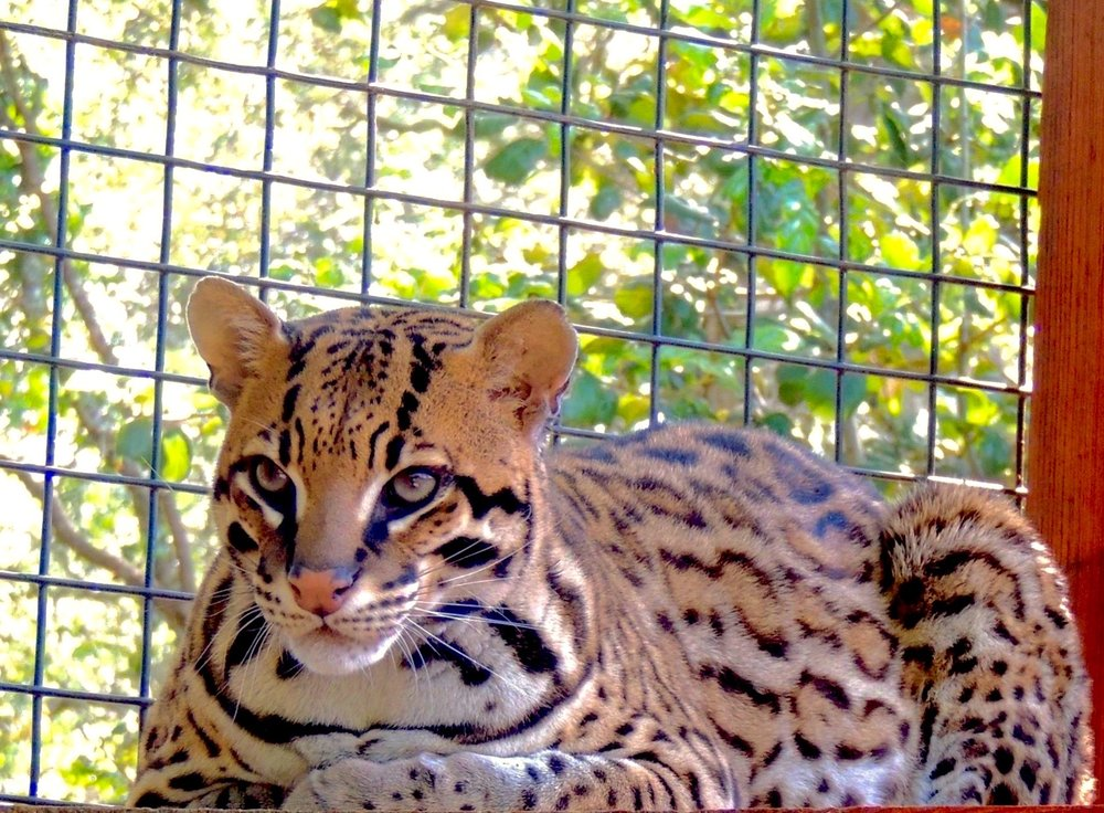 In 2016 California Fish & Wildlife helped us re-home 5 ocelots and 4 Geoffrey's cats from another facility in Northern California where the permitee had died without leaving instructions regarding his animals.  We managed to bring them safely to the ranch where they are content to remain as long as it's quiet and undisturbed.  Since these cats were never trained or handled, they dislike, but tolerate, the company of humans.
