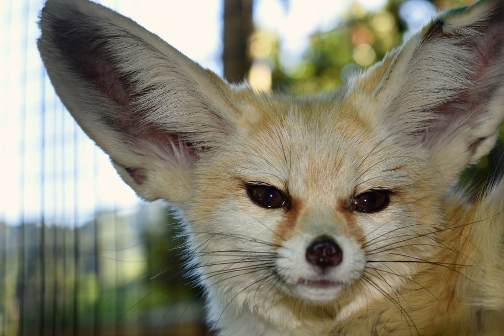 One of our most popular ambassadors the we use in the therapy program is Chewy the fennec.  Despite this little fox's rough start and rugged appearance, he's proven to be a resilient and delightful addition to the program.  When he came to Lyon Ranch he was all 'chewed up.'  Now those initial hardships have given him an affinity for people not often seen with wild animals.