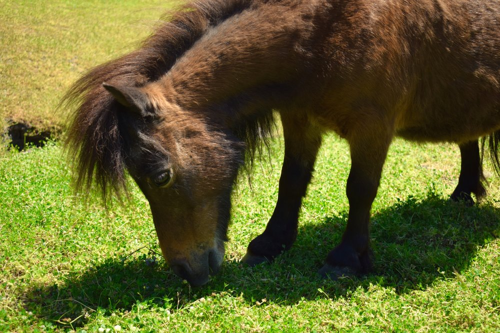 Muppet the mini horse is just as cuddly as his name implies.  Our old boy is a pro at the therapy circuit where he delicately trots from person to person in search of pats and treats.  Aside from being adorable, Muppet's favorite past time is snacking!  It's nice to have a heard of fuzzy lawnmowers.