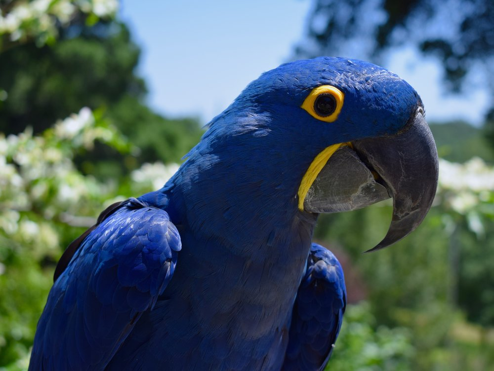 As a representative of one of the largest parrot species in the world, Lulu the hyacinth macaw certainly is an impressive figure.  Her big size is matched by her big heart so she certainly lives up to the term 'gentle giant.'  Lulu loves being admired and showing off her macadamia shell cracking skills to an impressed audience.