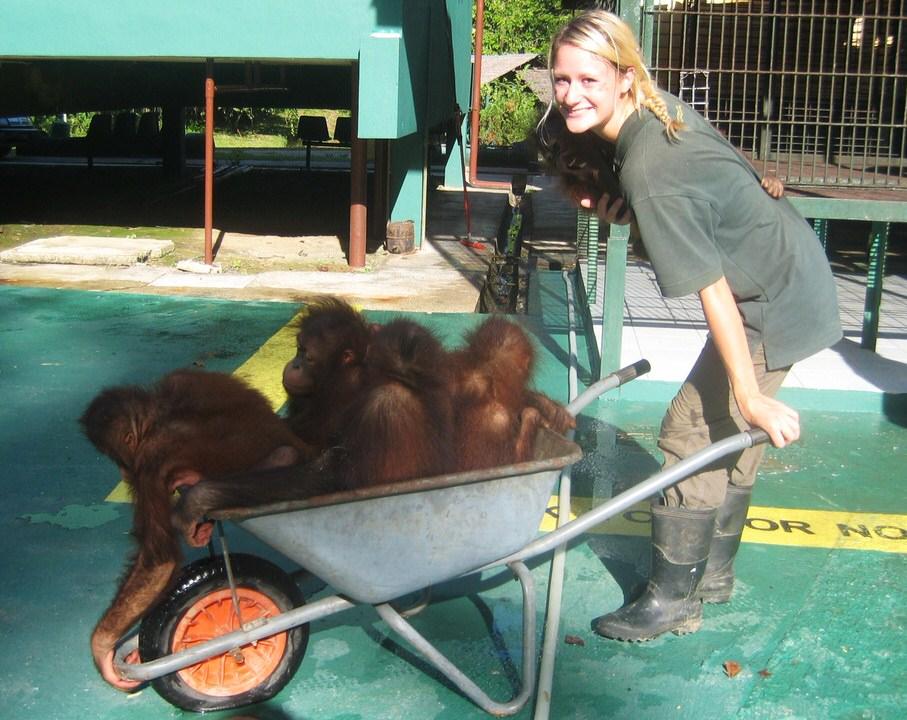 Caring for orphaned Bornean orangutans (Pongo pygmaeus)_Malaysia_Carolyn Thompson-1.jpg