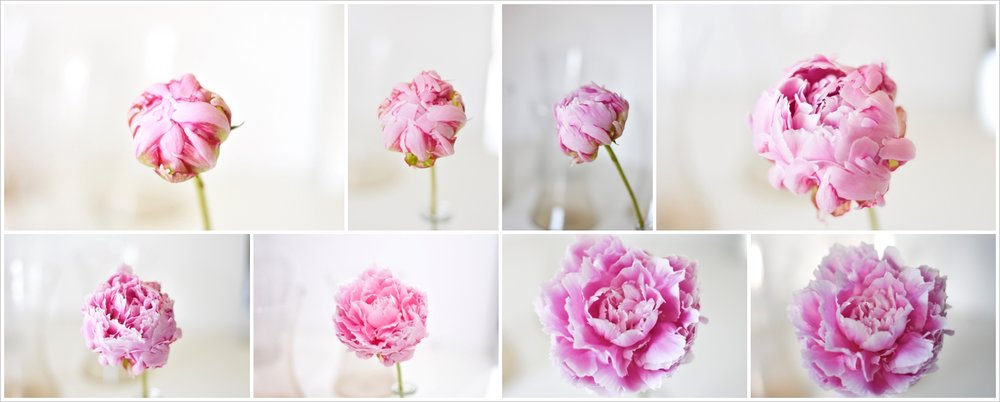 Pink peony opening slowly over 8 days