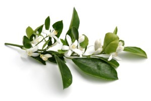 NEROLI: One of the best anti-depressant & stress relief oils, neroli has a sweet-floral scent & blends well with petitgrain & palmarosa. Use Aqua Oleum Neroli Oil with 5% dilution as a perfume, and the distilled neroli flower water as a rejuvenating everyday facial toner, ideal for combination skin.