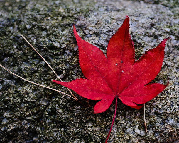 korean red maple leaf