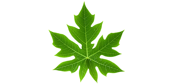 Hawaiian papaya leaf